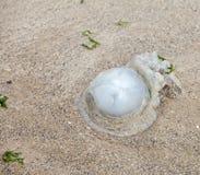 A jellyfish failed on sands Stock Photos