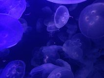 Jellyfish in a fish tank with black light Royalty Free Stock Photography