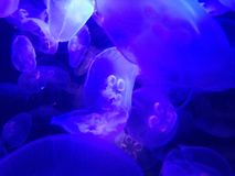 Jellyfish in a fish tank with black light Stock Photography