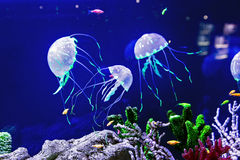 Jellyfish with the fishes. Beautiful jellyfish in the neon light with the fishes Royalty Free Stock Photo