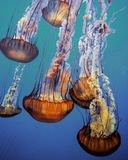 Jellyfish floating in an aquarium Stock Image