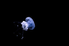 Jellyfish floating in the dark depths. Underwater world. Royalty Free Stock Photography