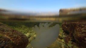 Sea jellyfish swimming in the sea stock video