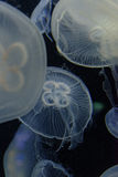 Jellyfish. Floating in the water Stock Photos