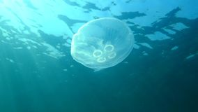 A jellyfish floating in the water column. Aurelia aurita stock video footage