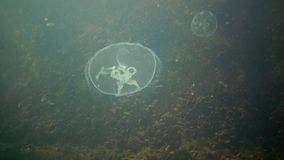 A jellyfish floating in the water column. Aurelia aurita stock footage
