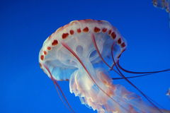 Jellyfish. Free-swimming jellyfish in an aquarium Stock Photos