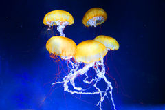 Jellyfish. Free swimming pacific sea jellyfish with trailing tentacles Royalty Free Stock Photography