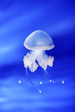 Jellyfish in Genoa aquarium, Italy Stock Photo