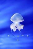 Jellyfish in Genoa aquarium, Italy. Europe Stock Photo