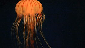 Jellyfish. A great video of a jelly fish swimming under the water stock video footage
