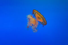 Jellyfish. Isolated on a blue background Stock Image