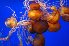 Jellyfish Jellyfish Royalty Free Stock Photos