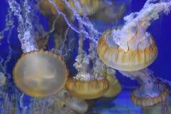 Jellyfish. A jellyfish in an aquarium stock photos