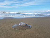 Jellyfish on océan beach, san Francisco, california Royalty Free Stock Images
