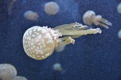 Blue jellyfish world Stock Photos