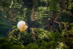 Jellyfish Kakaban swimming above mangrove in Derawan, Kalimantan, Indonesia underwater photo Stock Photos