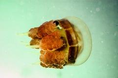 Jellyfish Kakaban swimming in Derawan, Kalimantan, Indonesia underwater photo Royalty Free Stock Photos