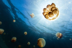Jellyfish Lake. Underwater photo of endemic golden jellyfish in lake at Palau. Snorkeling in Jellyfish Lake is a popular activity for tourists to Palau Stock Photo