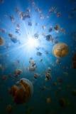 Jellyfish Lake Royalty Free Stock Image