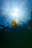 Jellyfish Lake Stock Photos