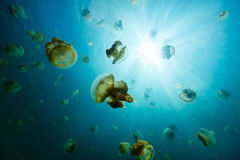 Jellyfish Lake. Underwater photo of endemic golden jellyfish in lake at Palau. Snorkeling in Jellyfish Lake is a popular activity for tourists to Palau Royalty Free Stock Photography