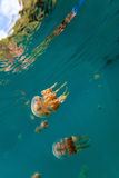 Jellyfish Lake. Underwater photo of endemic stingless jellyfish in lake at Palau. Snorkeling in Jellyfish Lake is a popular activity for tourists to Palau Royalty Free Stock Photography