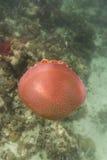 Jellyfish at Lipe island Stock Photography
