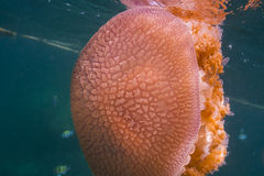 Jellyfish at Lipe island Royalty Free Stock Photo