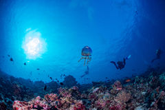 Jellyfish in Maldives corals and Fish underwater panorama Stock Photography