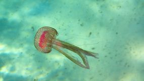 Jellyfish - Mauve Stinger. Underwater photo of toxic jellyfish in Corfu, Greece Royalty Free Stock Photography