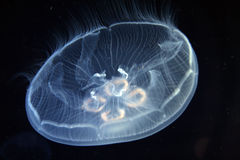 Jellyfish in the Mediterranean sea Stock Photography