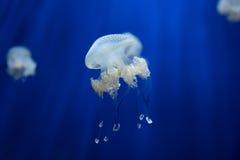 Jellyfish meduzy podwodnej nurkowej fotografii Egypt czerwony morze Obraz Royalty Free