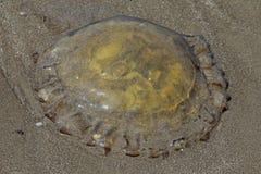 Jellyfish at Miramar Beach, Goa, India. Dead Jellyfish at Miramar Beach, Goa, India Stock Photo