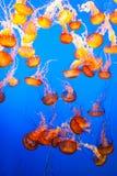 jellyfish na błękitnym tle obrazy royalty free