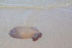 Jellyfish na plaży Fotografia Royalty Free