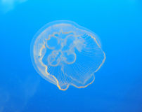 Jellyfish in ocean Royalty Free Stock Photos