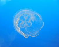 Jellyfish in ocean royalty free stock photos