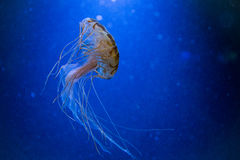Jellyfish. With the ocean in background Royalty Free Stock Images