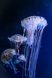 Jellyfish. With the ocean in background Stock Images