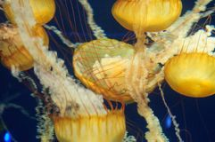 Jellyfish in the ocean Royalty Free Stock Image