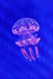 Jellyfish Stock Photos