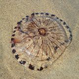 Jellyfish odpoczywa na plaży Fotografia Stock