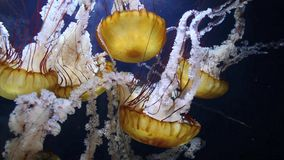 Jellyfish. Pacific sea nettle jellyfish (Chrysaora fuscescens) swim inside an aquarium