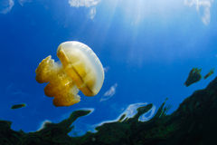 Jellyfish in Palau Stock Image