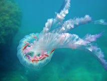 Jellyfish Pelagia noctiluca Mediterranean sea. Mauve stinger jellyfish Pelagia noctiluca in the Mediterranean sea, Costa Brava, Spain Royalty Free Stock Photography