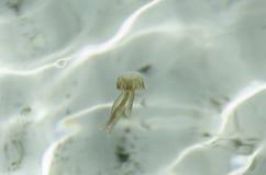 Jellyfish, pelagia noctiluca, transparent underwater creature in the Mediterranean. Royalty Free Stock Photos