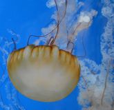 Jellyfish. This picture of a jellyfish was taken at the Shedd Aquarium in Chicago, Illinois , in June 2014 Royalty Free Stock Photo