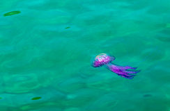 Jellyfish,Pink Jellyfish in the sea. Royalty Free Stock Photography