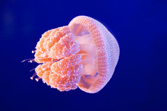 Jellyfish Stock Images
